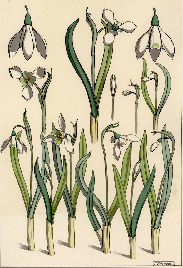 Maurice Pillard Verneuil, Snowdrop, in La plante et ses applications ornementales , diretto da E.Grasset, 1896