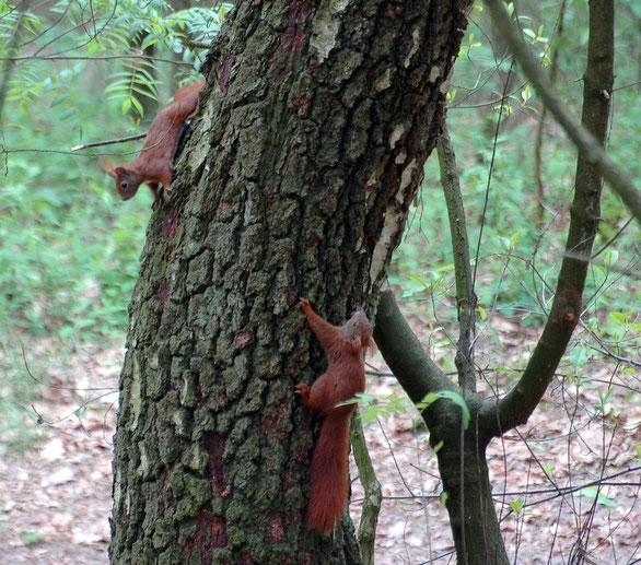 Zwei Eichhörnchen beim Spielen