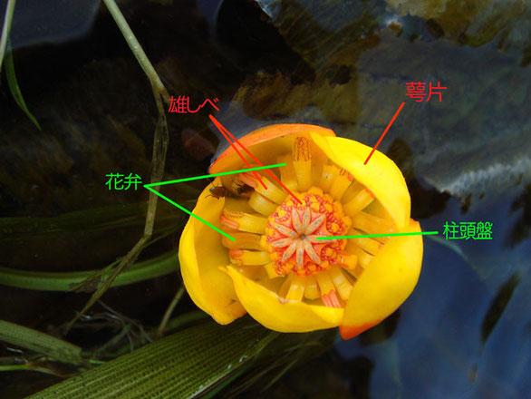 ナガレコウホネ 花の構造(萼片、花弁、雄しべ、柱頭盤)