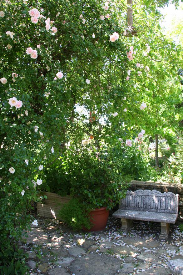 Bild: Ramblerrose im Jardin de l´Abbaye de Valsaintes, Simiane-la-Rotonde
