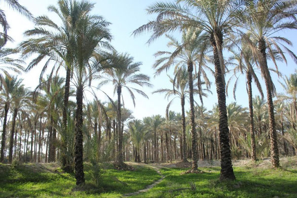 dates palms in Iran