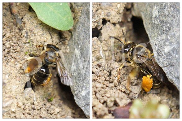 Bild: wahrscheinlich eine Wald-Schenkelbiene