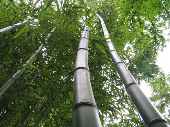 «Bambous géant au Jardin Jungle Karlostachys» par Karlostachys — Travail personnel. Sous licence CC BY-SA 3.0 via Wikimedia Commons - https://commons.wikimedia.org/wiki/File:Bambous_g%C3%A9ant_au_Jardin_Jungle_Karlostachys.jpg#/media/File:Bambous_g%C3%A