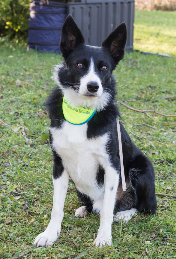 Ein Border Collie mit chiennormandie-Halstuch sitzt auf einer Wiese