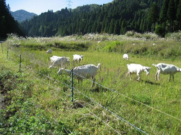 山羊の放牧