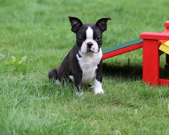 boston terrier, klub für terrier,  niedersachsen, lüneburg, uelzen, hamburg, welpen, zucht