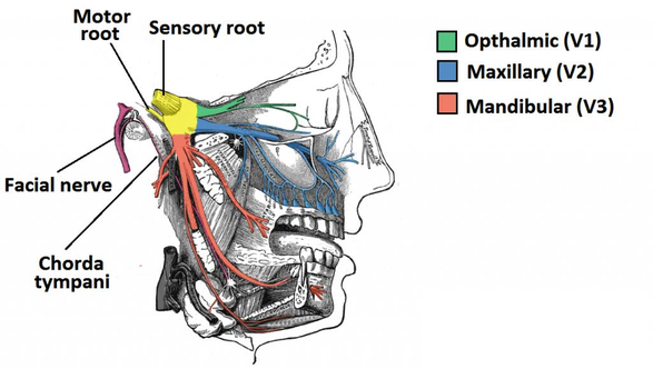 branches of the trigeminal nerve, ophtalmic, maxillary, and mandibular