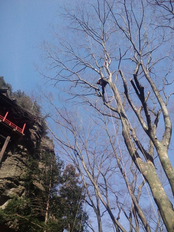 作業しているところは、わりと高いですね。 見えている枝は全部伐ります。