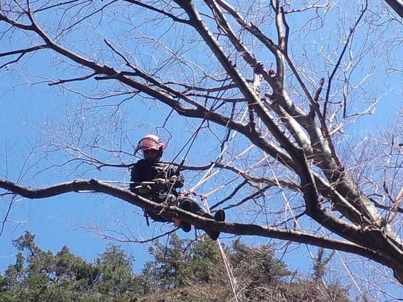 枝の中間に吊り下ろし用のロープをかける  ロープは滑車で吊られている