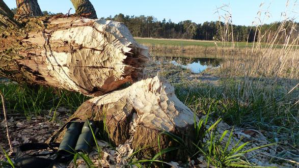 Biber Brutvögelkartierung 2020 C. Wöckener WöckworX Wendland Elbe Biospärenreservat Naturschutz