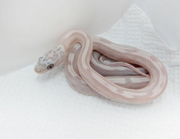Kornnatter Sunkissed Ghost Tessera motley or motley~striped