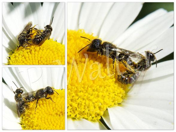 18.06.2017 : Löcherbienen beim Paarungsversuch auf der Weißen Färberkamille