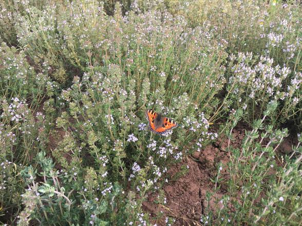 Ein kleiner Fuchs (Schmetterlingsart) sitzt auf einer Rosmarinpflanze