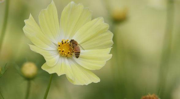 みつばち と コスモス (イエローキャンパス). Honey bee and cosmos