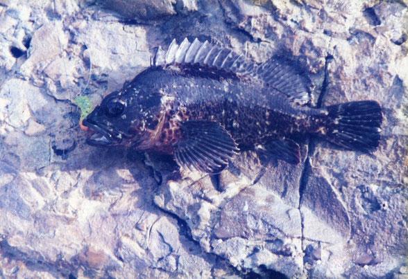 釣ったカサゴの写真