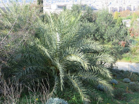 Phoenix theophrasti (Kretische Dattelpalme) im Botanischen Garten von Barcelona