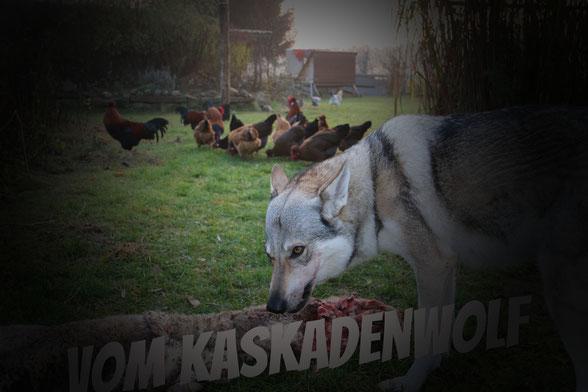 Fütterung vom Wolfhund