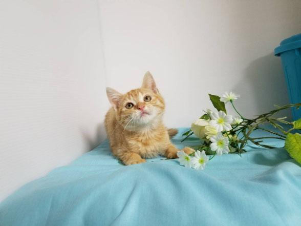 格安仔猫の猫の部屋セイワ!可愛いMIX仔猫さんです。