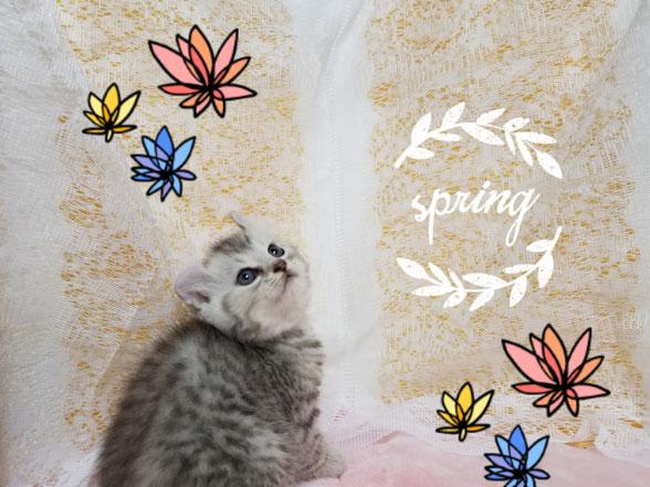子猫の格安販売!猫の部屋セイワ。可愛いアメリカンカールの子猫です。