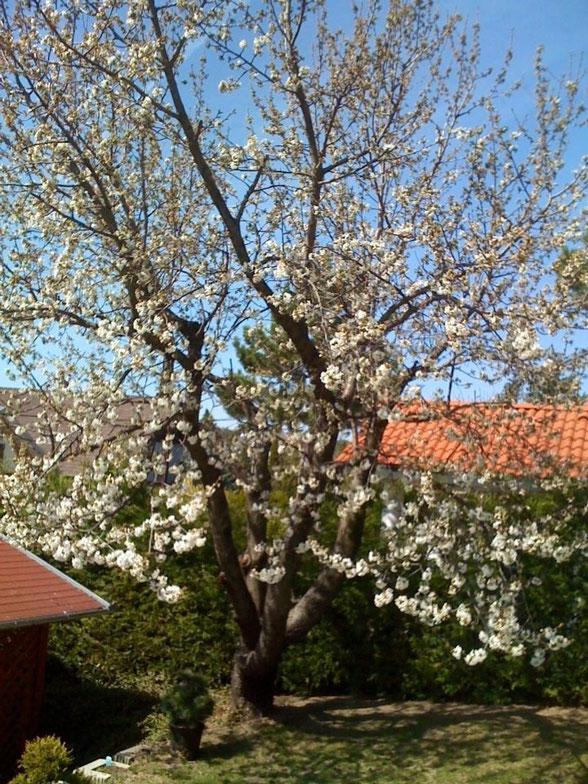 Наша черешневая красавица в период весеннего цветения в марте месяце