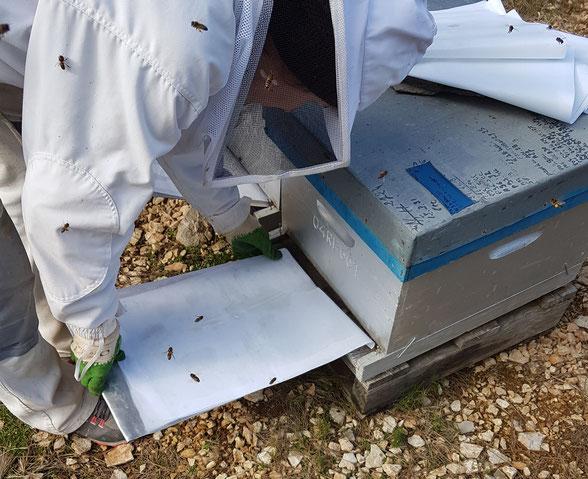 comptage varroa