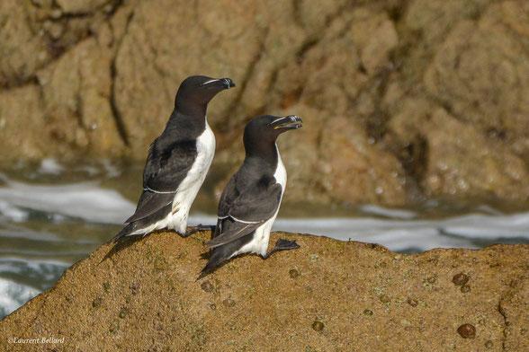 oiseaux marins en Bretagne