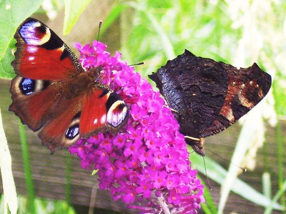 Entspannungs- und Heilpraxis - Ayurvedische Lebensberatung - Schmetterlinge auf Schmetterlingsblume