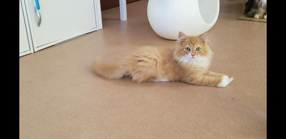 格安仔猫の猫の部屋セイワ!可愛いマンチカンの子猫です。