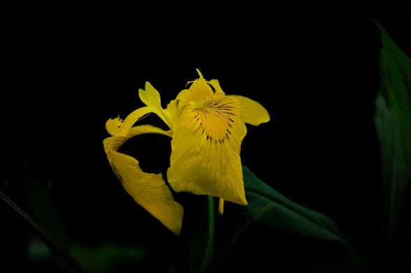 _DSC3362_Iris des marais- iris faux acore-iris jaune-Iris pseudacorus-Iridacées