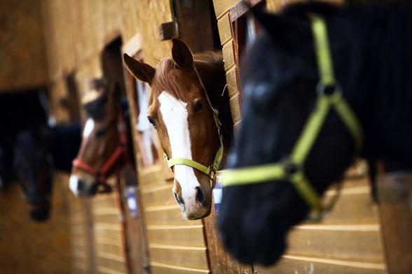 Boxenhaltung kann durch die veränderten Bewegungsmuster zu Problemen im Bewegungsapparat der Pferde führen
