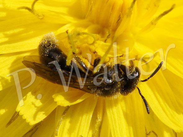 März 2016 : Furchenbiene auf Mallorca