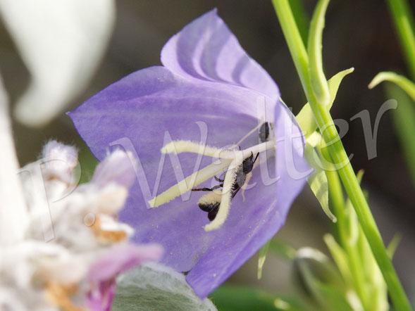 Bild: Glockenblumen-Scherenbiene, Osmia rapunculi, Weibchen