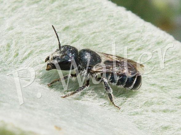25.06.2015 : wahrscheinlich eine Stahlblaue Mauerbiene am Woll-Ziest