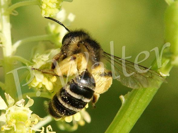 21.07.2015 : weitere Wildbiene (Sandbiene ?) an der Gelben Resede