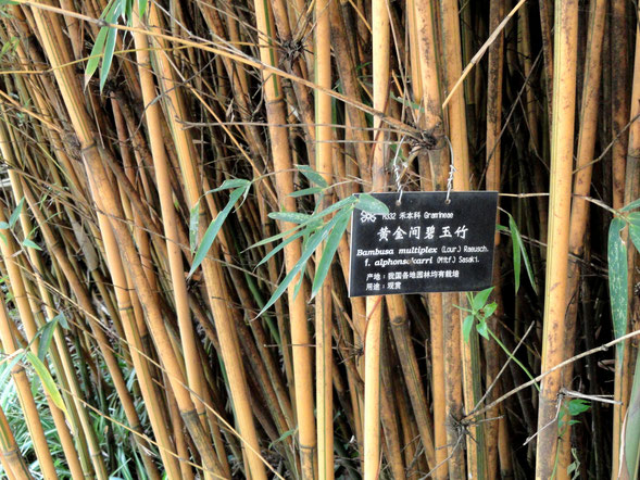 """Bambusa multiplex - Kunming Botanical Garden - DSC03065"" by Daderot - I took this photograph.. Licensed under パブリック・ドメイン"