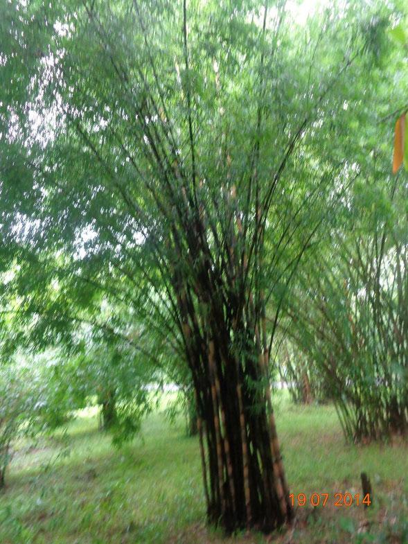 """Dvellakat - സ്വന്തം സൃഷ്ടി സൃഷ്ടിച്ച """"Bambusa polymorpha"""". വിക്കിമീഡിയ കോമൺസ് - https://commons.wikimedia.org/wiki/File:Bambusa_polymorpha.jpg#/media/File:Bambusa_polymorpha.jpg വഴി സി.സി. ബൈ-എസ്.എ. 4.0 ഉപയോഗാനുമതി നൽകിയിരിക്കുന്നു"""