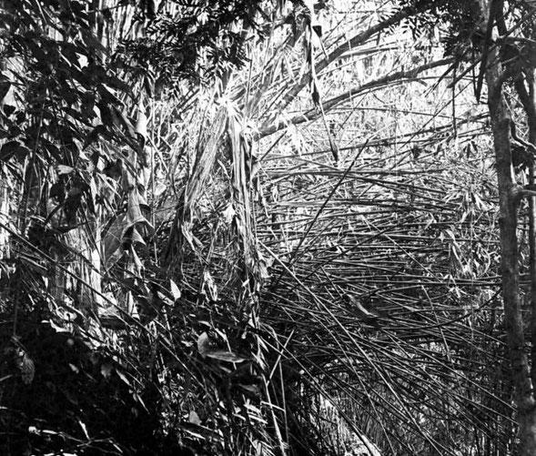 BU211F195_«COLLECTIE TROPENMUSEUM Melocanna humilis in de Plantentuin te Sibolangit Oostkust van Sumatra is een in het ravijn groeiende bamboesoort die door de Bataks als binnenpijp van hun blaasroer wordt gebruikt TMnr 10010809» par Tropenmuseum, part