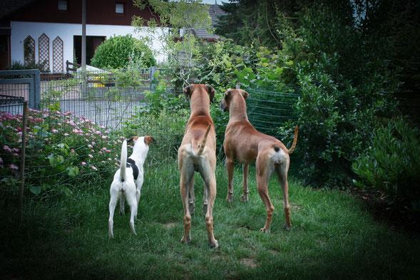 """Milli-Mi und ihre """"Doggen-Geschwister"""" beobachten am Gartenzaun neugierig das Geschehen auf der Strasse"""