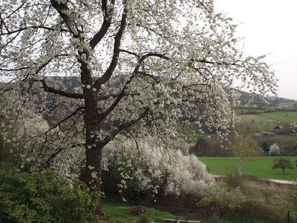 Kirschblüte vor zwei Wochen. Inzwischen blüht der Flieder.