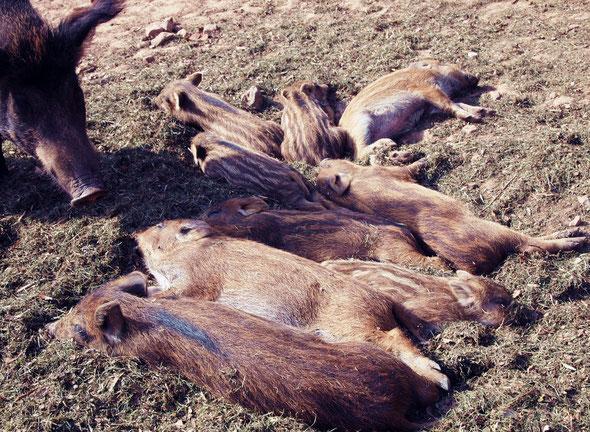 Schweinereien im Wildpark