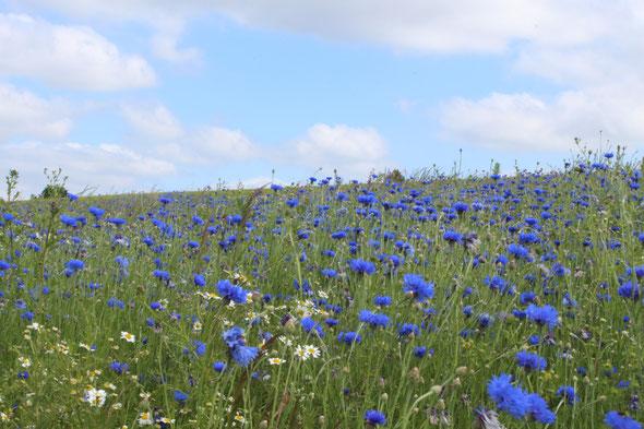 Kornblumenfeld im Nistertal