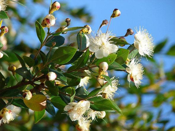 Myrte vert - Myrtus communis à 1.8 cinéole - Myrtacée - Distillation des rameaux feuillés