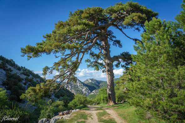 Pinus cembra - Aletsch Glacier - via Flickr - By Sciadopitys