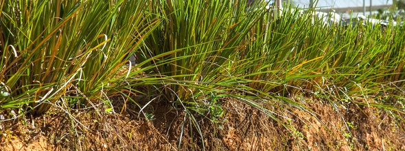 Vétiver - Chrysopogon zizanioides ou Vetiveria zizanioides - Distillation des racines - Famille botanique : Poacée