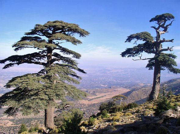 Cedrus atlantica sur la montagne de Tichoukte - Maroc