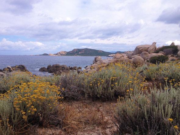 Hélichryse en fleurs - Corse sud  littoral  - Photo Michèle Pantalacci