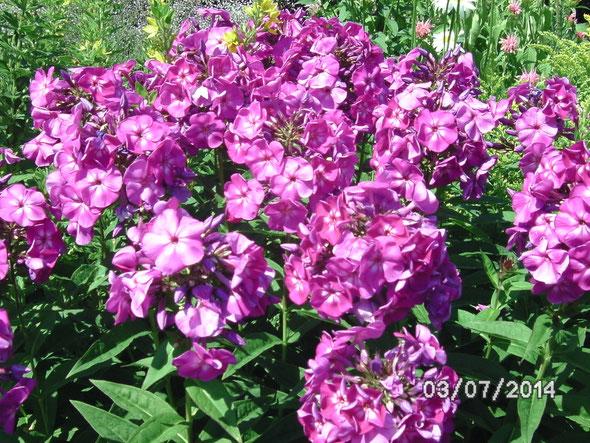 Phlox im Vereinsgarten