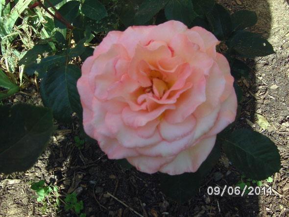 Rose im Vereinsgarten