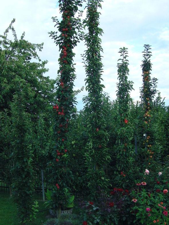 Säulenbäume im Vereinsgarten