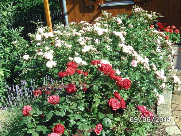 Rosen im Vereinsgarten